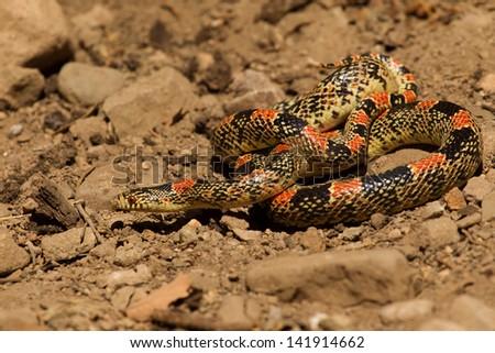 Arizona Long Nosed Snake - stock photo