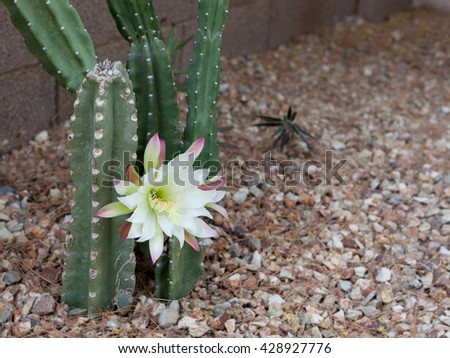 Arizona most popular garden cactus without thorns blooming in the night and early morning hours