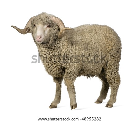 Arles Merino sheep, ram, 1 year old, standing in front of white background - stock photo