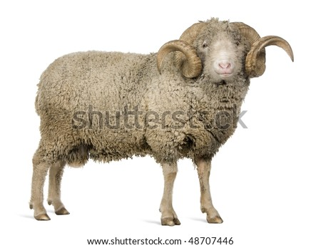 Arles Merino sheep, ram, 5 years old, standing in front of white background - stock photo