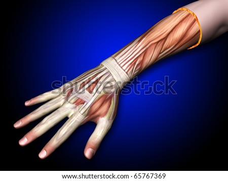 Arm, Hand, Muscles and Tendons of the Hand and Forearm, Top View - stock photo