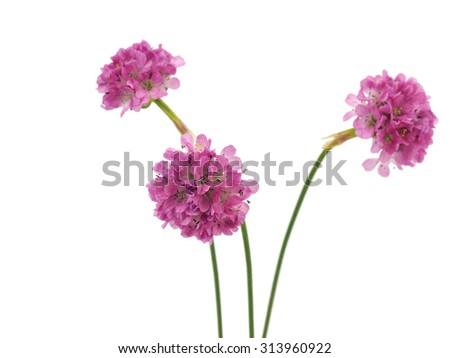 Armeria maritima or sea pink flower on a white background - stock photo