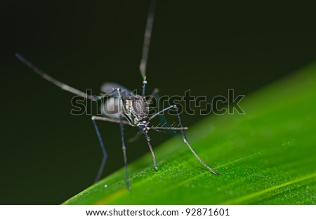 Armigeres Mosquito at night