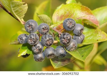 Aronia berries on a bush. Aronia is a genus of deciduous shrubs, the chokeberries, - stock photo