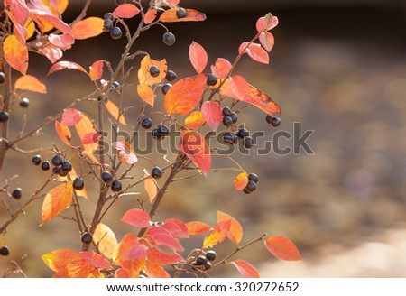 aronia branches with ripe berries in autumn