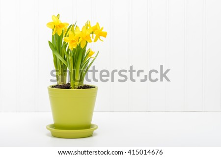 Arrangement of beautiful daffodils planted in a green flower pot. - stock photo