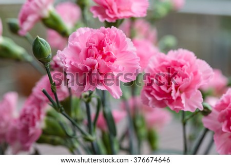 Arrangement of beautiful pink divine flowers blooming in spring  Scented Dianthus caryophyllus blossoms used for perfumery medicine food tea. Image for garden business blog flower and interior books - stock photo