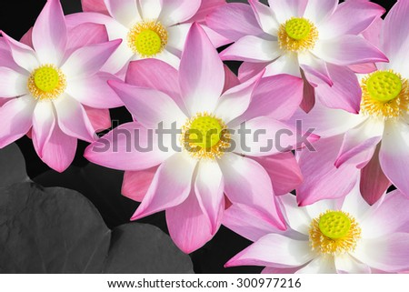 Art of  many Blooming Lotus,Pink lotus on  Leaf background, With Clipping Path