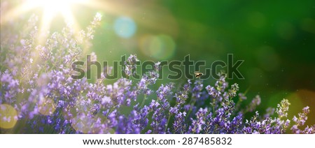 art Summer or spring beautiful garden with lavender flowers  - stock photo