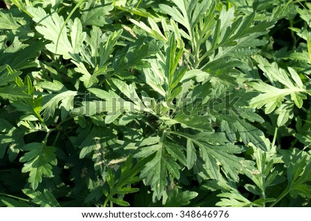 Artemisia's green leaves(Artemisia indica) - stock photo