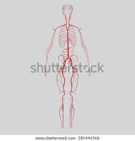 Arteries - stock photo