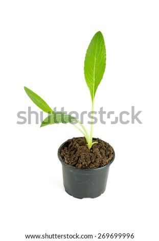artichoke seedling - stock photo