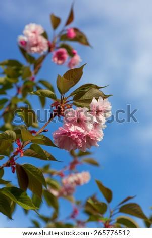 Artificial Sakura flowers, is on blue sky background - stock photo