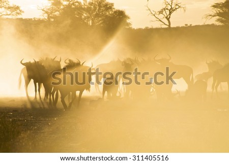 Artistic sunset with Blue Wildebeests in Kgalagadi Transfrontier Park. South Africa - stock photo