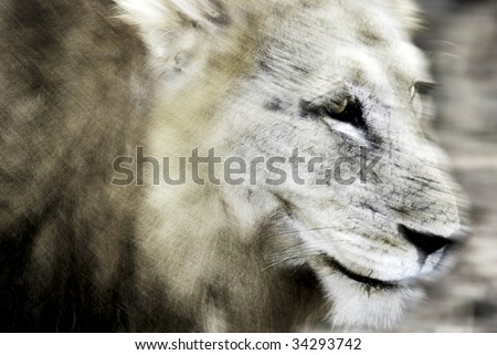 Arty closeup of a mature male lion - photo showing movement of the animal