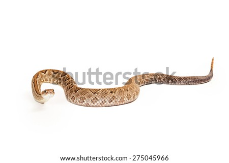 Aruba Rattlesnake - A critically endangered (CR) species of venomous pitviper snakes mainly found in the Caribbean.  - stock photo