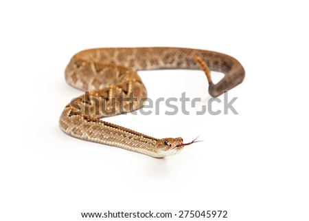 Aruba Rattlesnake - A critically endangered (CR) species of venomous pitviper snakes mainly found in the Caribbean. Looking forward with forked tongue is sticking out. - stock photo