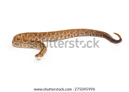 Aruba Rattlesnake - A critically endangered (CR) species of venomous pitviper snakes mainly found in the Caribbean.