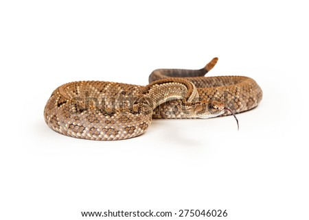 Aruba Rattlesnake - A critically endangered (CR) species of venomous pitviper snakes mainly found in the Caribbean. Snake is coiled up with tongue out. - stock photo