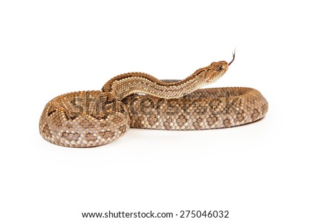 Aruba Rattlesnake - A critically endangered (CR) species of venomous pitviper snakes mainly found in the Caribbean. Coiled up with forked tongue sticking out. - stock photo