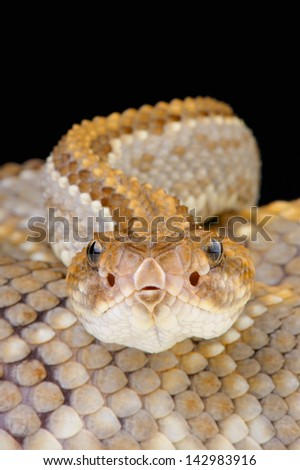 Aruba rattlesnake / Crotalus durissus unicolor - stock photo