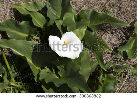 Arum or jug lilies Zantedeschia aethiopica naturalising  in  the  Malbup Bird hide  in the  Tuart Forest National park near Busselton south west Australia  on a cloudy afternoon after winter  rains .