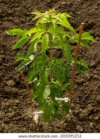 ash-leaved maple sapling more than three months from germination - stock photo