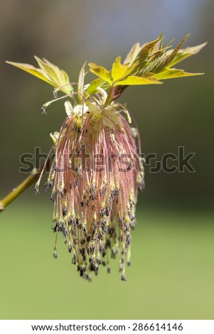 Ash maple - flowers - stock photo