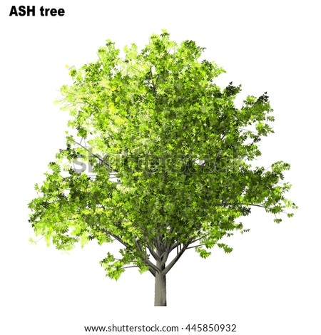 Ash Tree Isolated on white background, 3D Illustration.