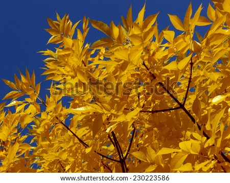 ash-tree twigs with fall golden leaves - stock photo