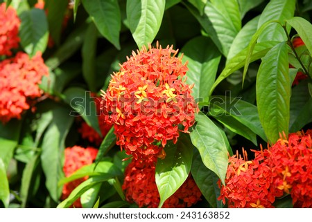 Ashoka flowers primarily seen growing in South India - stock photo