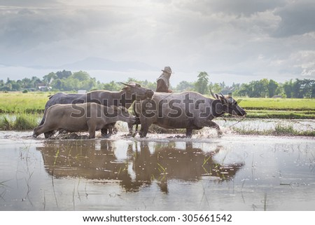 Asia buffalo in field, Thailand - stock photo