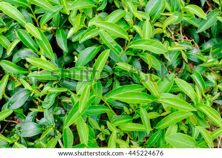 Asia culture concept image - Green and fresh organic tea bud tree & leaves plantation, the famous Oolong tea area in high mountain in morning, Taiwan