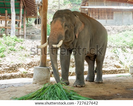 Asia elephant eating grass, Thailand