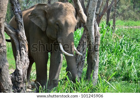 asia Elephant in forest