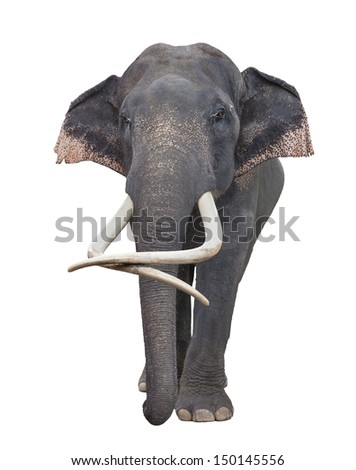 Asia elephant in white isolated backgroung  - stock photo