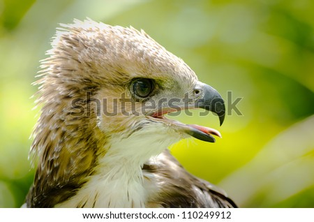 asia hawk hunter young black shouldered kite hawk - stock photo
