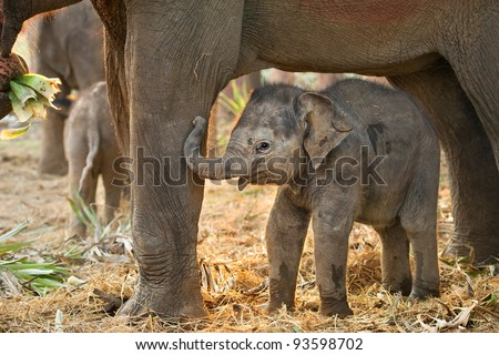 Asian baby elephant standing between the big legs of her mother - stock photo