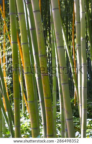 Asian Bamboo forest with morning sunligh and shadow - stock photo