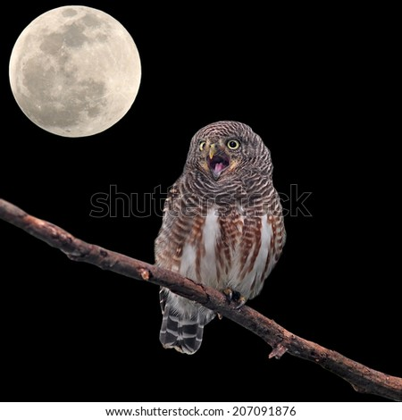 Asian Barred Owlet (Glaucidium cuculoides) and the moon  - stock photo