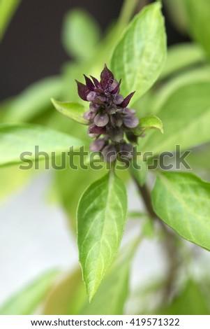 Asian basil's dark purple flower (Ocimum basilicum) - stock photo