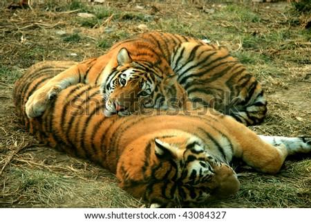 Asian beautiful tiger - stock photo