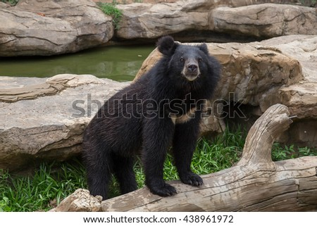 asian black bear in the zoo
