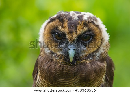 the background of the nocturnal bird northern spotted owl Like most nocturnal owls, your best bet is to find appropriate habitat (which differs   the northern spotted owl lives from northern california to british columbia,.