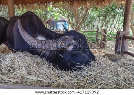 Asian buffalo eating straw in small barn, Thailand - stock photo