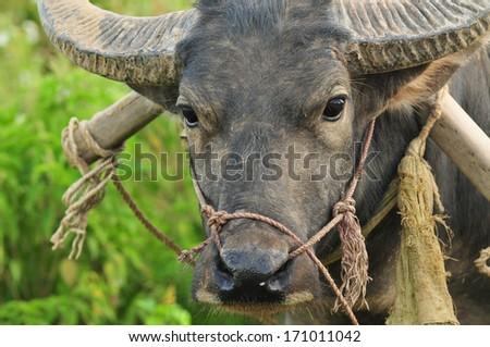 Asian buffalo, Laos - stock photo