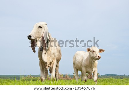 Asian cow on the green grass with blue sky