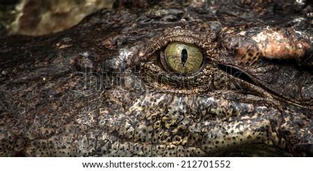 Asian crocodile. - stock photo
