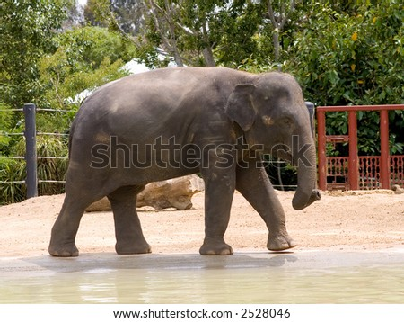 Asian Elephant by pool in zoo