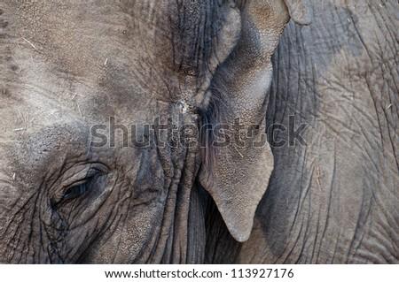 Asian Elephant close up - stock photo
